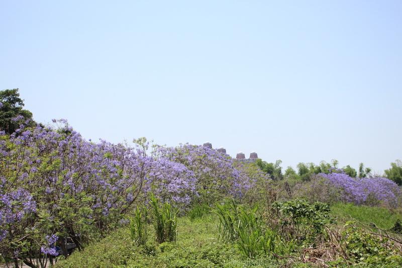 嘉義市圓林仔社區-藍花楹隧道♬